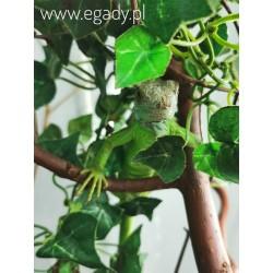 Iguana iguana Legwan zielony