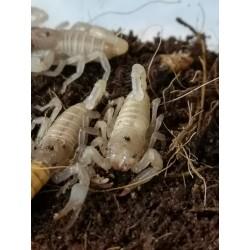 Skorpion Heterometrus...
