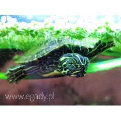 Pseudemys sp.  Żółw...