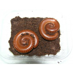 Wij Millipedes Togo brown