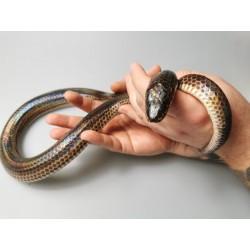 Wąż Xenopeltis unicolor...