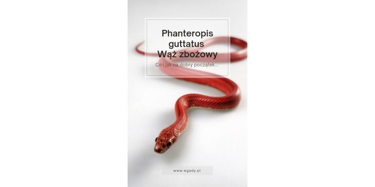 Pantherophis guttatus  Wąż zbożowy co warto wiedzieć na start...